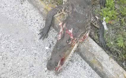 Cocodrilo destrozado en Tajamar