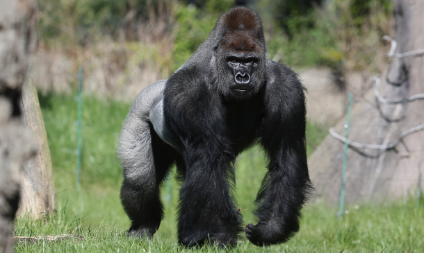 Hermoso Gorila