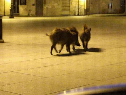 Jabalíes caminando en las calles de Italia