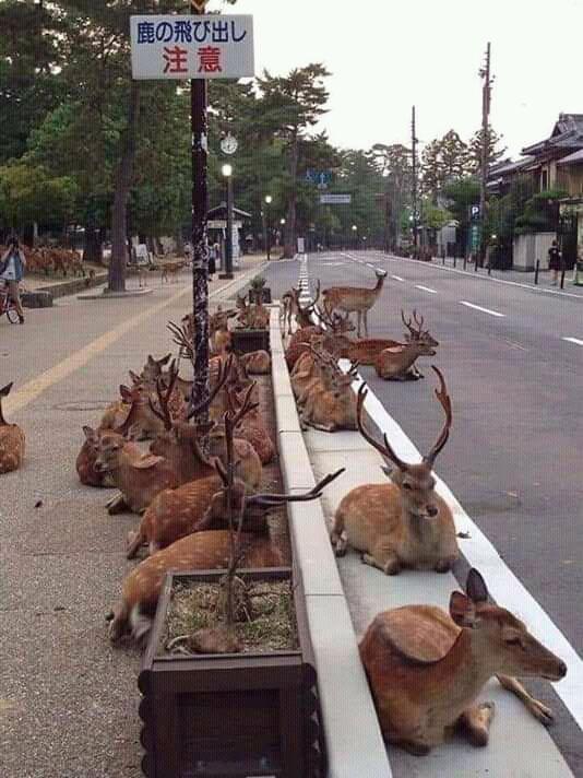 Venados descansando en una calle de Japón