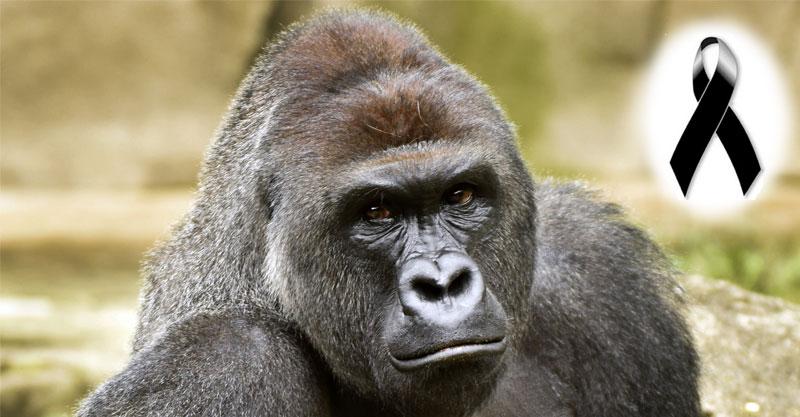 El hermoso gorila Harambe